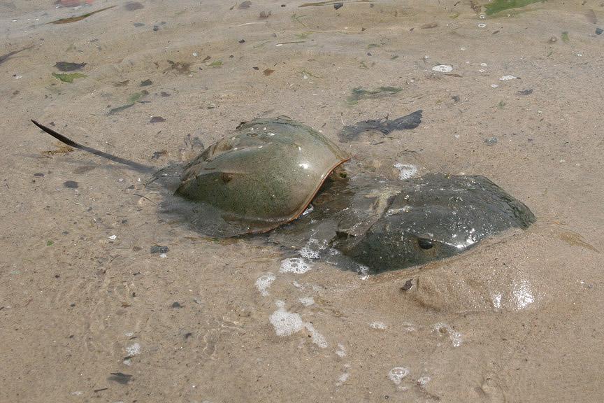 Prehistoric Horseshoe Crabs Horseshoe Crab Blood